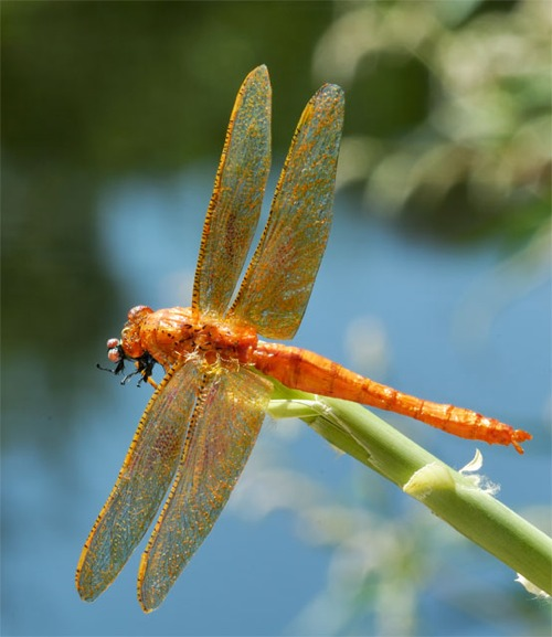 Realistic Orange Dragonfly
