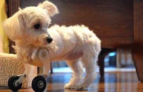 maltese_puppy_wheels.jpg