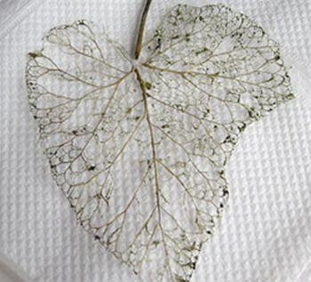 skeletonized-leaf.jpg
