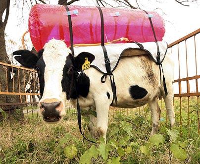 cow-gas-tank.jpg