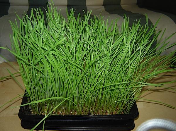 wheatgrass_instructable.jpg