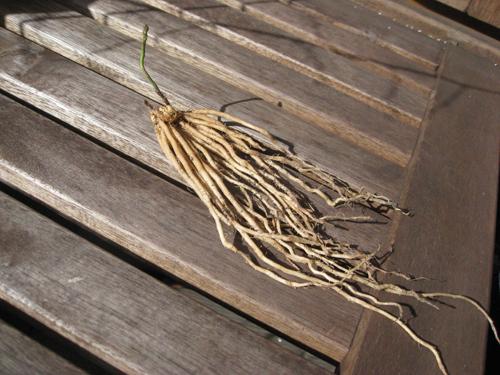 asparaguscrown1.JPG