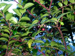 huckleberry_ready_for_picking.jpg