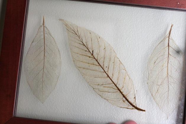 idearoom_leaf_skeletons.jpg