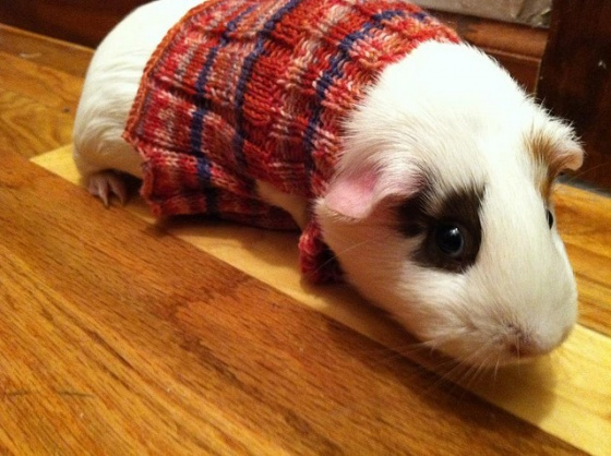 Knitting Pattern For Hamster Jumper : Knitted Sweaters For Guinea Pigs Make: MAKE: Craft