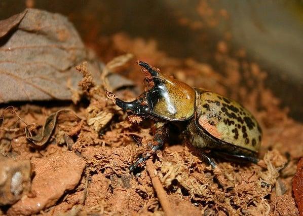 Hercules beetle. Photo by Jessie Kiesow.