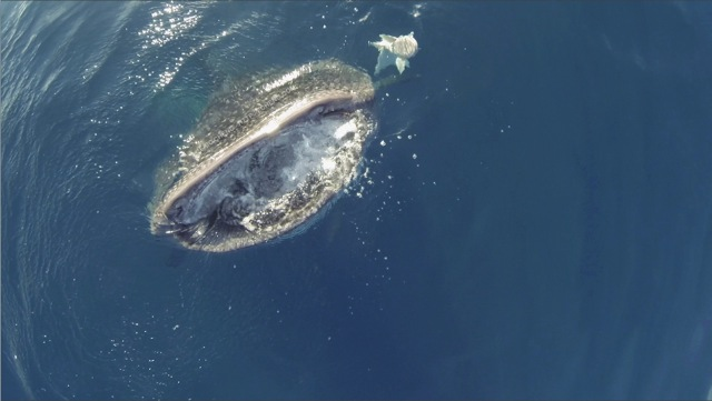 ecv0026-whaleshark-botella-wm