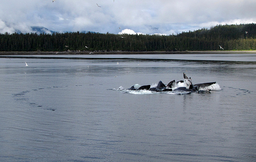 Humpback whales reaching the surface after feeding within the bubble ring, visible to the left. Photo by Doug Knuth.