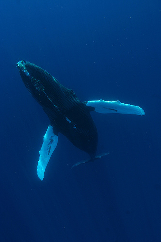 Humpback whale showing tubercles on the leading edge of its flippers. Photo by National Marine Sanctuaries.