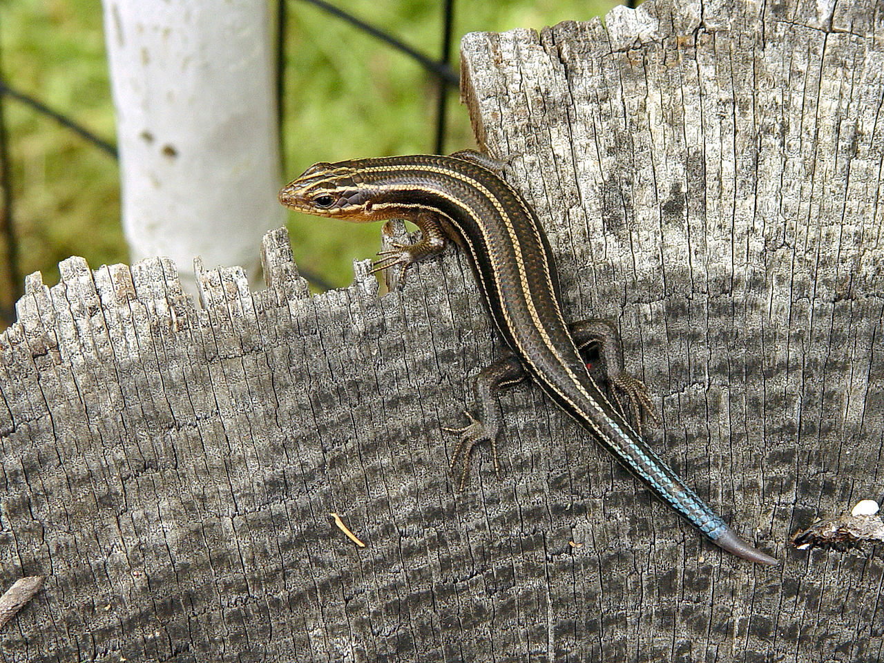 This lizard exhibits self-renewal by growing back its tail after losing it to a would-be predator. Photo by Thegreenj.