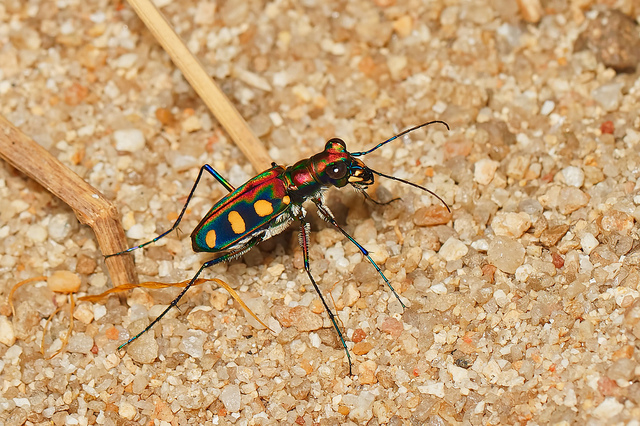 Beetles' exoskeletons are made up of chitin, which creates bright colors, waterproofing, hardness, and the ability to fly. Photo by Troup Dresser.